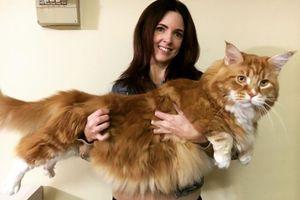 Chú mèo khổng lồ dài nhất thế giới, chó đứng cạnh cũng 'lép vế'