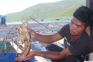 Khánh Hòa: Tôm hùm chết hàng loạt, thiệt hại hàng tỷ đồng