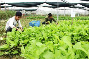 Bỏ lương cao về trồng rau sạch