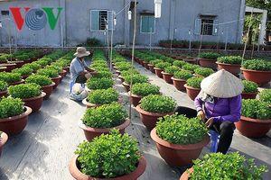 Người trồng hoa tết 2019 tại Bà Rịa-Vũng Tàu phải xuống giống 2 lần