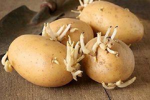 Bộ Y tế cảnh báo: Ăn khoai tây mọc mầm có thể gây ngộ độc chết người