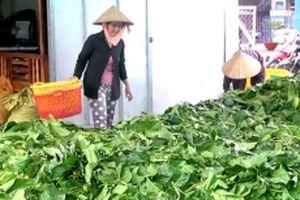 Sớm làm rõ chuyện thu mua lá nhàu tươi tại Cà Mau