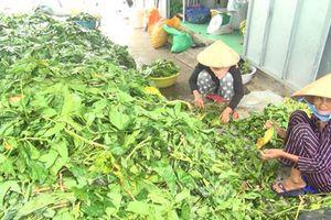 Bất thường chuyện đổ xô thu gom lá nhàu tươi ở Cà Mau