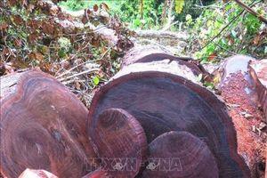 Tiếp tục phát hiện cây gỗ nghiến bị chặt hạ trái phép tại rừng đặc dụng Phong Quang