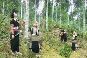 Hỗ trợ gạo cho đồng bào dân tộc thiểu số nhận trồng, bảo vệ rừng