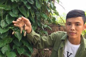 Sơn Giang: Đưa cây khoai mài từ rừng sâu về vườn nhà