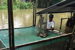 Thu nhập cao từ nuôi cá tai tượng trong vèo