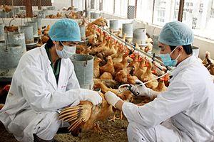 Phòng chống dịch cúm gia cầm A/H5N6