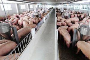 Giá heo hơi hôm nay 27/10: Sau 2 tuần người nuôi mất gần 10 triệu/tấn lợn hơi