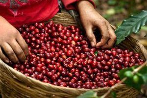 Giá nông sản hôm nay 27/10: Giá cà phê tăng 400 đồng, giá tiêu giảm 1.000 đồng/kg
