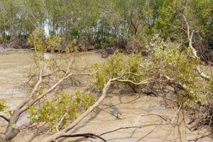 Cà Mau: Mỗi năm mất từ 400-500ha rừng phòng hộ, do đâu?