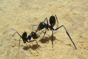 Loài kiến thông minh, hệ thần kinh số một, lạ nhất sa mạc
