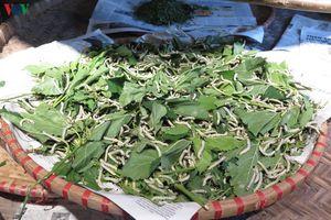 Gây dựng lại nghề trồng dâu nuôi tằm ven bờ Vu Gia-Thu Bồn