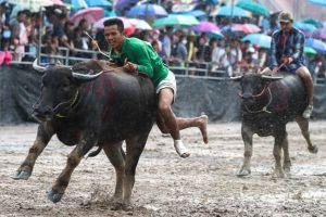 Đua trâu cuối mùa mưa ở Thái Lan