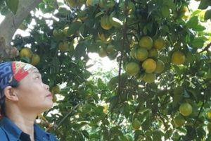 Ngắm vườn cam lòng vàng 3,4 tạ quả/cây đẹp như tranh vẽ ở Hòa Bình