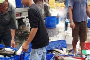 Khánh Hòa: Ngư dân bán hàng ngàn con cá bớp giá bèo bọt