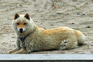 Giống chó biết biến thành 'cừu', cực lạ, hiếm và yêu
