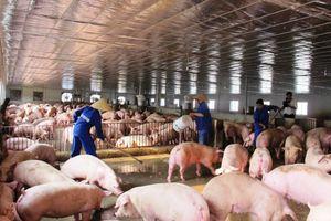 Nguy cơ xâm nhiễm dịch tả lợn châu Phi vào Việt Nam rất cao