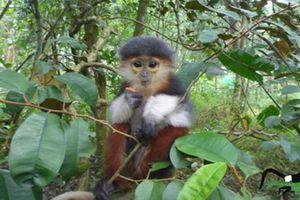 Vẻ đẹp của 'hoa khôi' trong thế giới khỉ, chỉ có ở Việt Nam