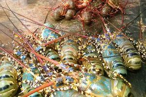 Tái diễn tôm hùm, cá bớp chết hàng loạt ở Vạn Thạnh