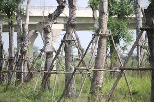 Những cây xà cừ cổ thụ ở Hà Nội chết khô sau khi đánh chuyển
