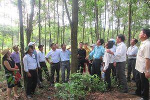 Trồng rừng gỗ lớn: Điển hình Quảng Trị