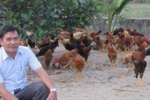 'Học mót' nuôi gà lai thả vườn 'đẻ' 100 triệu đồng/năm
