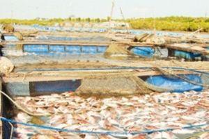 Sớm giải quyết tình trạng nuôi thủy sản tự phát trên sông Chà Và