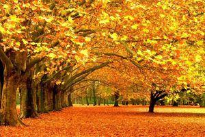 Hàng trăm cây phong nhuộm vàng phố Hà Nội như trời Tây