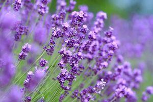 Khi lo lắng, hãy ngửi mùi hoa oải hương