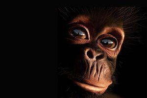 Sự giống nhau đáng ngạc nhiên giữa tinh tinh và người