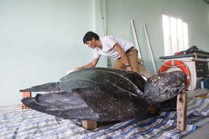 Quảng Ngãi: Thực hiện làm tiêu bản rùa da cực kỳ quý hiếm