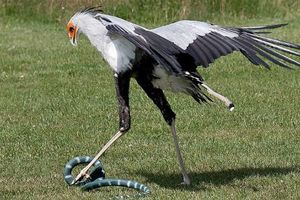 Loài chim 'võ sĩ' tên thư ký, thích ăn rắn độc cực dị