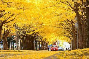 Mùa thay lá, hẹn hò nói lời yêu ở đại lộ Ngân Hạnh đẹp nhất nước Nhật