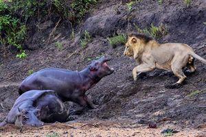 Hà mã con quyết chiến đánh đuổi sư tử để bảo vệ mẹ