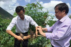 Dịch khảm lá trên cây sắn hoành hành 12 tỉnh, thành trong cả nước