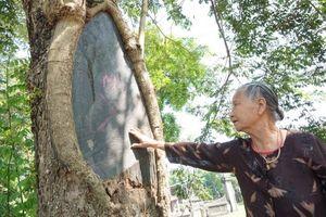 Công an xã lập chốt ngày đêm bảo vệ 3 'cụ sưa' quý hơn 100 tuổi từng được thương lái trả giá 60 tỷ/cây ở Hà Nội