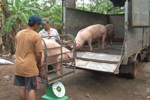 TP HCM: Đường dây nóng để dân cung cấp thông tin mua bán, tiêu thụ lợn trái phép
