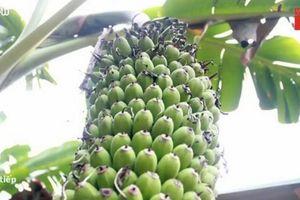 Kinh ngạc buồng chuối đột biến hơn 2.000 quả ở Nghệ An