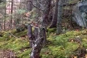 Sửng sốt rừng 'thở' như người ở Canada