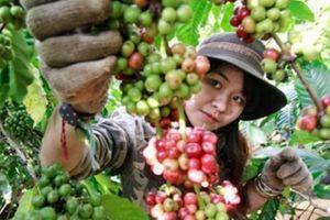 Giá nông sản hôm nay 31/10: Giá cà phê vẫn 'hụt hơi', giá tiêu tiếp đà tăng trưởng