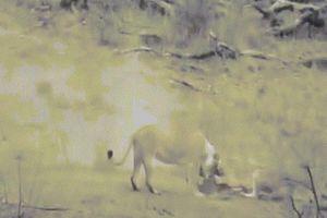 Lợn lòi rơi vào móng vuốt sư tử cái, không ngờ được sư tử đực cứu mạng