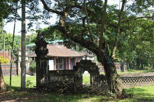 Cận cảnh 3 cây sưa trăm tuổi quý hiếm ở ngôi đình cổ ngoại thành Hà Nội
