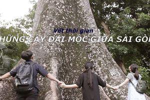 Vết thời gian - Kỳ 8: Những cây đại thụ giữa Sài Gòn