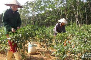 Nông dân Nghệ An trồng ớt chỉ thiên thu lãi hơn 130 triệu/ha