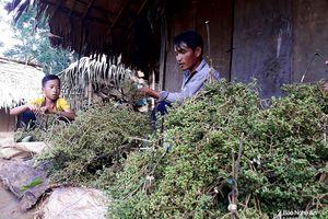 Đầu mùa hái 'tiêu rừng', người dân thu tiền triệu