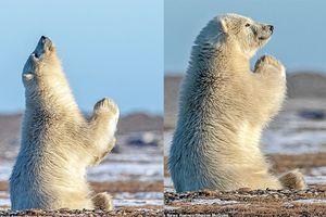 Khoảnh khắc 'chú gấu trắng nguyện cầu' gây bão mạng và câu chuyện buồn qua lời kể của người bấm máy