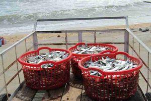Phú Yên: Làng thúng bên bờ biển xã Xuân Hải vào mùa cá trích