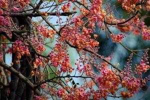 Khám phá bất ngờ về cây ô môi quen thuộc với người miền Nam