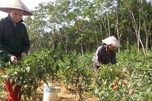 Nghệ An: Nông dân trồng ớt chỉ thiên lãi hơn 130 triệu/ha